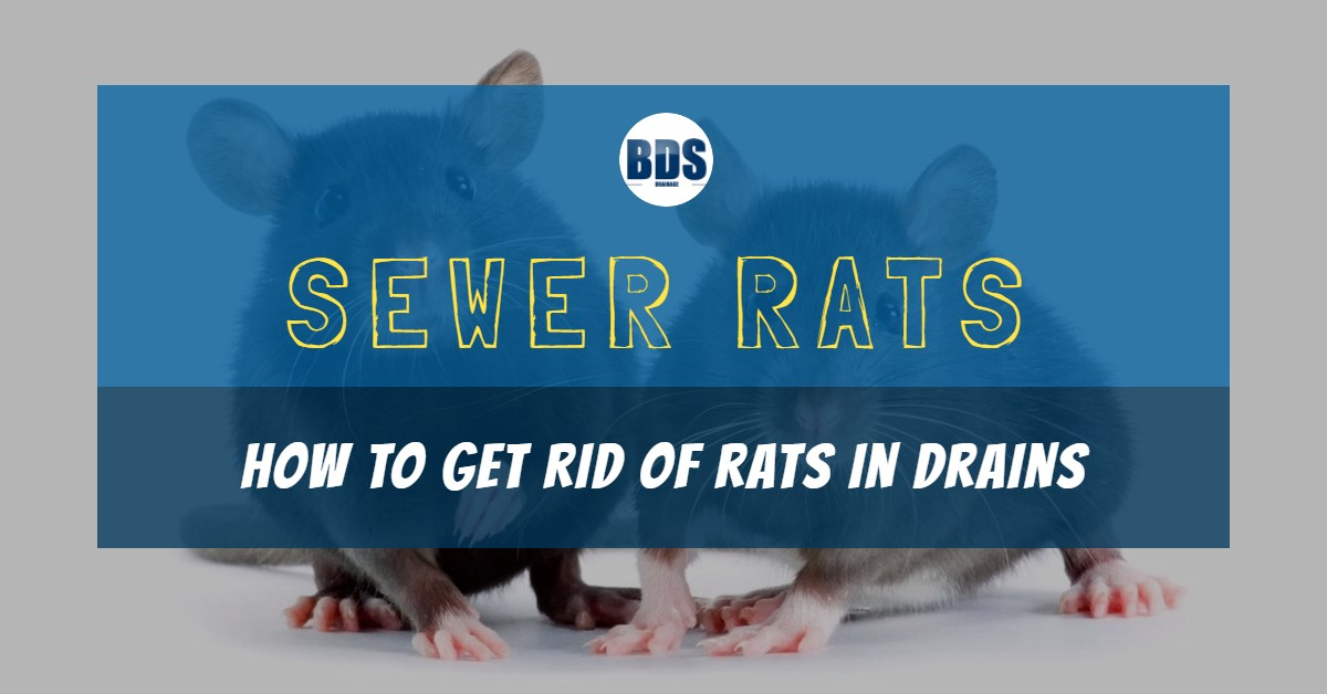 Sewer Rats: How to Get Rid of Rats in Drains